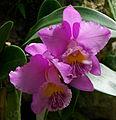 Orchidées a.jpg