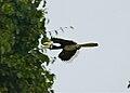 Oriental Pied Hornbill (Anthracoceros albirostris) male (8077108428).jpg