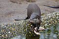 Oriental small-clawed otter (24463797293).jpg