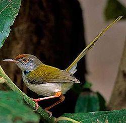 Bán chim sâu xanh đầu đỏ Huế.DĐ+ZALO:0913972054.SACOMBAN:040038580266 GỌI ĐÂU BÁN ĐÓ