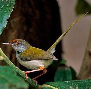 Tailorbird - Common tailorbirds (Orthotomus sutorius)