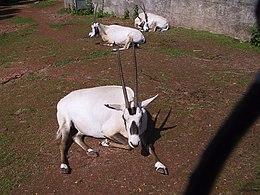 Oryx leucoryx.jpg