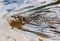 Otter SH-msu-2579.jpg