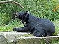 Ours à collier (Zoo de Berlin) (6080474107).jpg