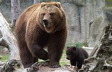 Ussuri Brown Bear Vs Grizzly Kamchatka brown bear -...