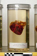 Ovine heart.jpg