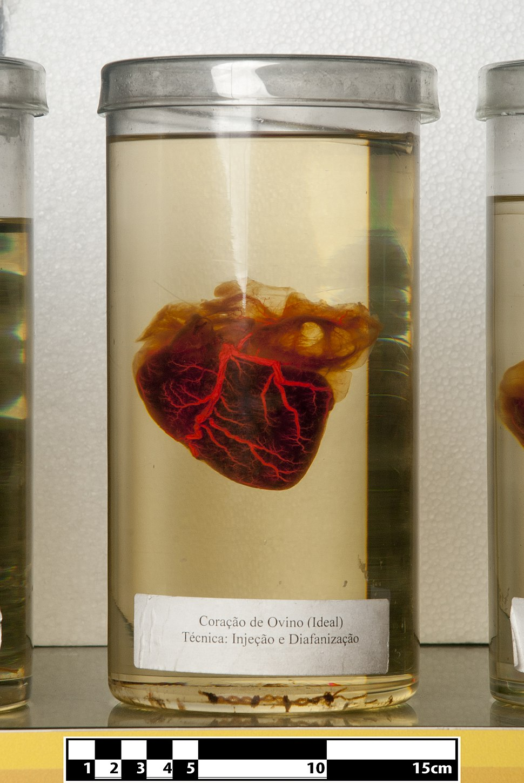Ovine heart