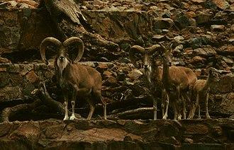 Ovis - Image: Ovis ammon vignei arkal Pretoria 3