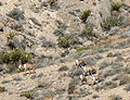 Ovis canadensis nelsoni Spring Mountains 2.jpg