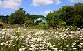 Ox-eye daisies by the railway (geograph 2472117).jpg