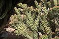 Pájara La Lajita - Oasis Park - Euphorbia ledienii 02 ies.jpg