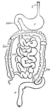 PSM V17 D626 Diagram of the digestive system of a mammal.jpg
