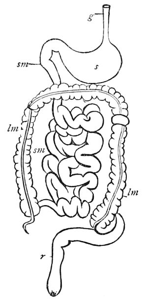 299px psm v17 d626 diagram of the digestive system of a mammal jpg