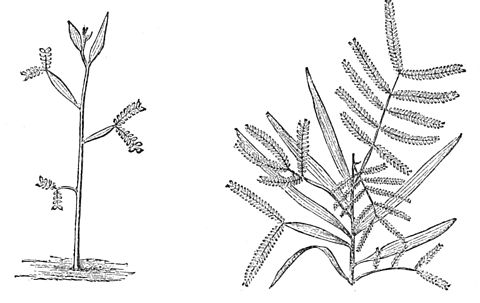 PSM V27 D371 Leaf arrangement of the acacia salicina.jpg