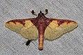 Pachynoa sp. (Crambidae- Spilomelinae) (23483472982).jpg