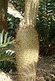 Pachypodium geayi 3zz.jpg