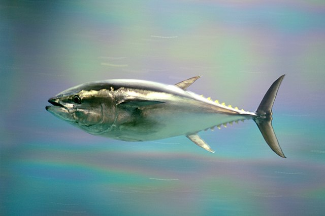 Živočích žijúci vo voľnej vode - tuniak