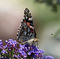 Painted Lady. Vanessa cardui - Flickr - gailhampshire (2).jpg