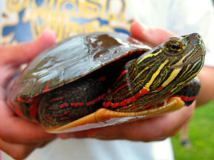 Painted Turtle being held