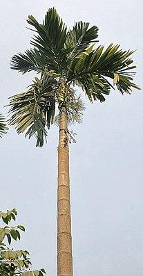 Betelnusspalme (Areca catechu)