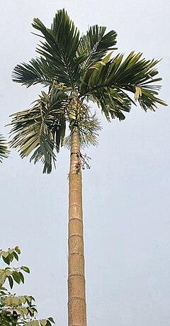 240px-Palm_I_IMG_2081.jpg
