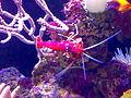 Palma-Acuario-7-Gamba limpiadora roja.jpg