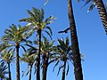 Palms with Buzzards - Oasis - Mulege - Baja California Sur - Mexico (23924213142).jpg