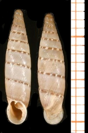 Suture (anatomy) - Two shells of Papillifera bidens, scale bar is in mm. These shells have 10 or 11 whorls and thus a very long suture, with an unusual sculpture of regularly placed papules along the suture itself.