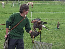 Falconer with Harris's Hawk