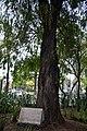 Parque España - Ciudad de México - 14 - Ahuehuete inaugural.jpg