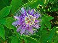 Passiflora incarnata 002.JPG
