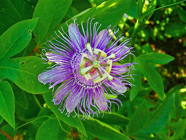 Passiflora incarnata - photo by H. Zell