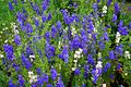 Patch blue flowers - West Virginia - ForestWander.jpg