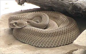 Western diamondback rattlesnake - C. atrox, patternless specimen
