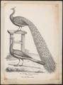 Pavo muticus - 1809-1845 - Print - Iconographia Zoologica - Special Collections University of Amsterdam - UBA01 IZ16900221.tif