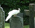 Peacock, St James' churchyard, Arlington - geograph.org.uk - 879921.jpg