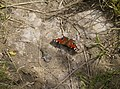 Peacock butterfly on the bridleway - geograph.org.uk - 499975.jpg