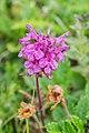 Pedicularis verticillata near Col de Coux (1).jpg