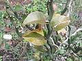 Pedilanthes braceatus-plant-yercaud-salem-India.JPG