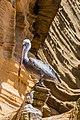 Pelícano pardo de las Galápagos (Pelecanus occidentalis urinator), Punta Pitt, isla de San Cristóbal, islas Galápagos, Ecuador, 2015-07-24, DD 80.JPG