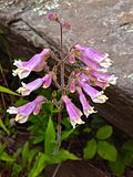 Penstemon hirsutus - Hairy Beard Tongue 2.jpg