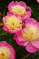 Peonies 'Bowl of Beauty'.jpg