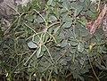 Peperomia blanda.jpg
