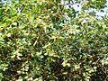 Peral Ficus bengalensis.JPG