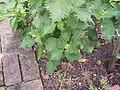 Perilla frutescens (L.) Britton (AM AK323039-1).jpg