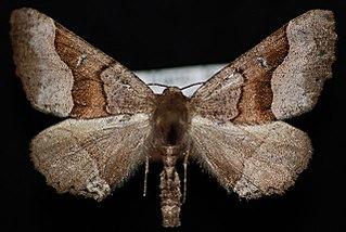 <i>Pero behrensaria</i> species of insect