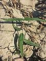 Persicaria amphibia sl6.jpg