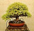 Pescia, museo del bonsai, di Franchi, 05.jpg