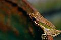 Peters' Malaysian Frog (Hylarana raniceps) (14620775035).jpg