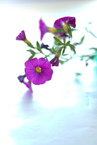 Petunia Surfinia purple.jpg